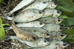 Fresh catch of fish. Fresh catch of sea bass Stock Photos