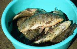 Fresh catch of fish. Carp. Crucian. Fresh catch of fish. Carp. In the bucket stock photo