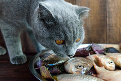 Fresh catch live fish (carp) and a cat that wants to eat it Stock Photo