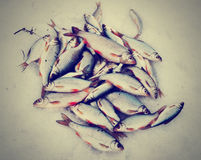 Fresh catch - a lot of fish on snow, toned image Stock Photography