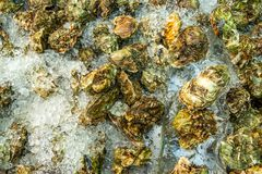 Fresh catch of oysters with ice. In the fridge for storage Stock Photography