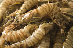 A fresh catch of prawns Royalty Free Stock Image