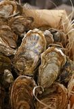 Fresh catch of oysters in wooden box close up Royalty Free Stock Image