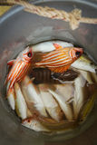 Fresh catch - red snappers Stock Photography
