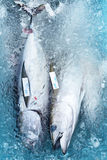Fresh catch of tuna Royalty Free Stock Photos