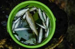 Fresh catch. Fresh water fishes in plastic basin Stock Image