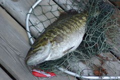 Fresh caught bass fish. A fresh caught bass fish in a net stock photography