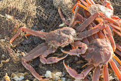 The fresh caught crabs Stock Images