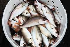 Fresh caught fish in a bucket Stock Image