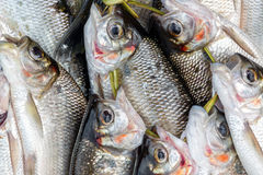 Fresh Caught Fish Closeup. Closeup view of fresh caught fish in a market in Iquitos, Peru in the Amazon Rainforest stock photography