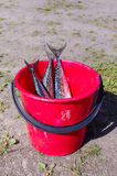 Fresh caught mackerel fishes. Red bucket with mackerel fish Royalty Free Stock Photos