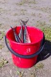 Fresh caught mackerel fishes Royalty Free Stock Photos
