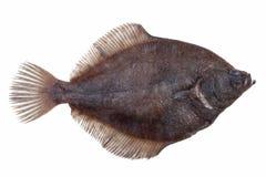 Fresh caught plaice Stock Images