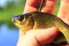 Prussian carp in the hand. Fresh caught Prussian carp on the human hand Royalty Free Stock Images
