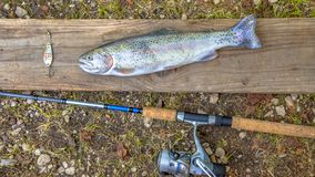 Fresh caught Rainbow Trout. With fishing rod Royalty Free Stock Image