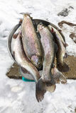 Fresh caught Rainbow Trout Stock Photo