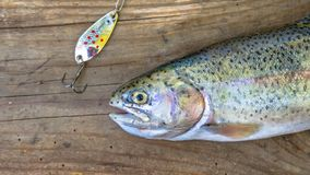 Fresh caught Rainbow Trout with spinner. On wood Royalty Free Stock Image