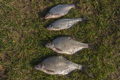 Fresh-caught river fish bream on green grass.  stock photography