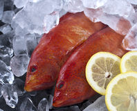 Fresh caught Strawberry grouper on ice with some s Royalty Free Stock Photography
