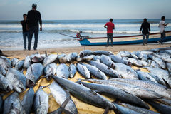 Fresh caught Tuna Fish at the Indian ocean Stock Photos