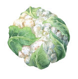Fresh cauliflower with green leaves. Watercolor hand painting illustration on isolate white background Stock Images