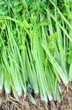 Fresh celery. At market closeup Stock Photo