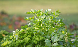 Fresh celery Royalty Free Stock Photo