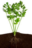 Fresh Celery. Side view of a closeup of celery with the roots in the ground Royalty Free Stock Photo