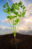 Fresh Celery. Side view of a closeup of celery with the roots in the ground with sky panorama Stock Image