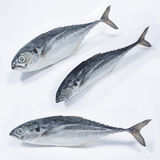Fresh Cencaru Fish Royalty Free Stock Image