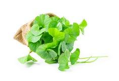 Fresh Centella asiatica, Asiatic Pennywort leaf. Stock Image
