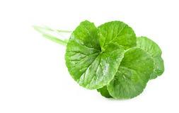Fresh Centella asiatica, Asiatic Pennywort leaf. Stock Images