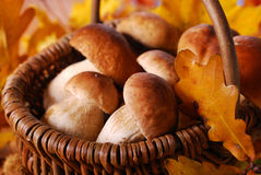 Fresh cep (porcini ) mushrooms in the basket Stock Photos