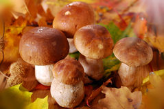 Fresh cep (porcini ) mushrooms Royalty Free Stock Photography
