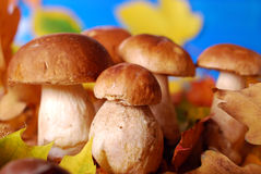 Fresh cep (porcini ) mushrooms Royalty Free Stock Photos