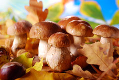Fresh cep (porcini ) mushrooms Royalty Free Stock Image