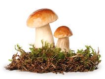 Fresh ceps on  moss Royalty Free Stock Photography