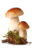 Fresh ceps on  moss Stock Photography