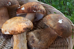 Fresh Ceps Royalty Free Stock Photography