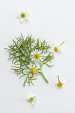 Fresh chamomile Royalty Free Stock Photos