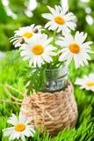 Fresh chamomile flowers Stock Images
