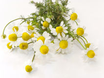 Fresh chamomile flowers Royalty Free Stock Photography