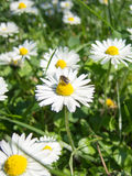 Fresh chamomile flowers and bee. At work Stock Image