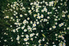 Fresh chamomile flowers on big summer field stock image