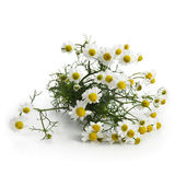 Fresh Chamomile Flowers Royalty Free Stock Image