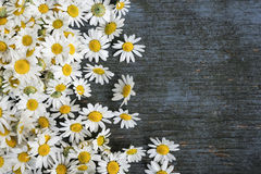 Fresh chamomile flowers Stock Image