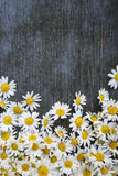 Fresh chamomile flowers Royalty Free Stock Images