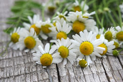 Fresh chamomile flowers Stock Photography