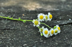Fresh chamomile  flowers on the wooden table Stock Photography