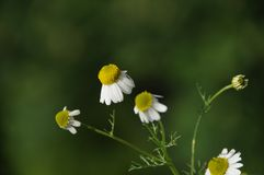 Fresh chamomile Stock Images